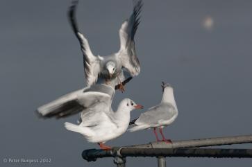 black_headed_gulls_at_cheddar_reservoir_1