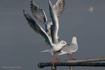 black_headed_gulls_at_cheddar_reservoir_2