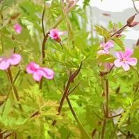 Canal Flora: Herb Robert