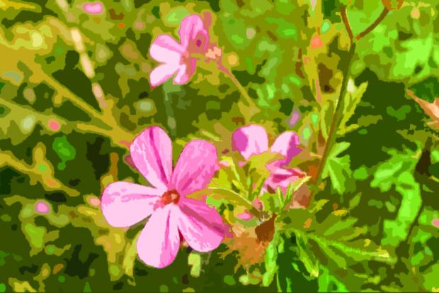 Herb-Robert print