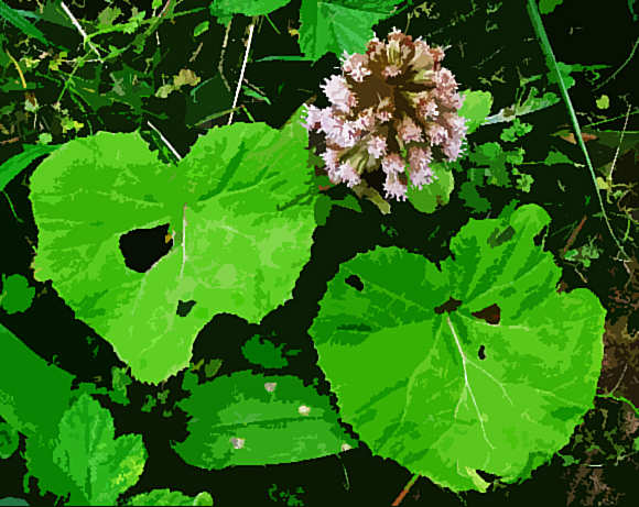print Butterbur_2009_04_16_RamsreaveWilpshire_GreatMitton_Whalley_508p7