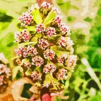 Canal Flora: Butterbur