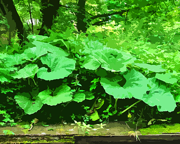 print of Butterbur_2007_06_20_greenfield_Diggle_Mossley)023p3