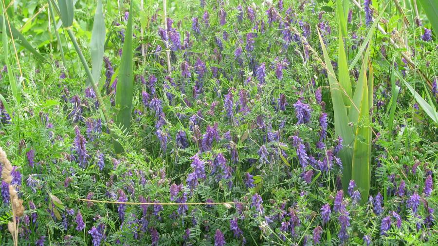 2870.Tufted vetch patch 18.7.11 KP