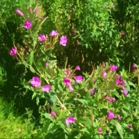 Canal Flora: Great (Hairy) Willow-herb