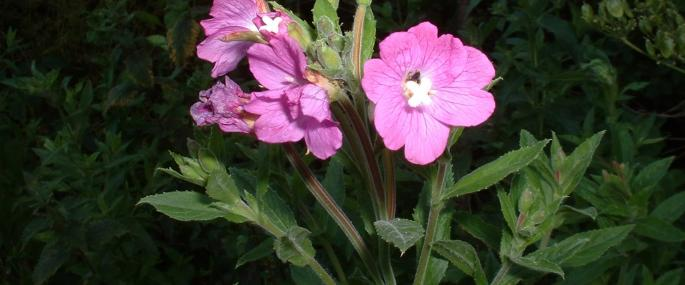 Great_Willowherb_Epilobium_hirsutum_cpt_Neil_Wyatt