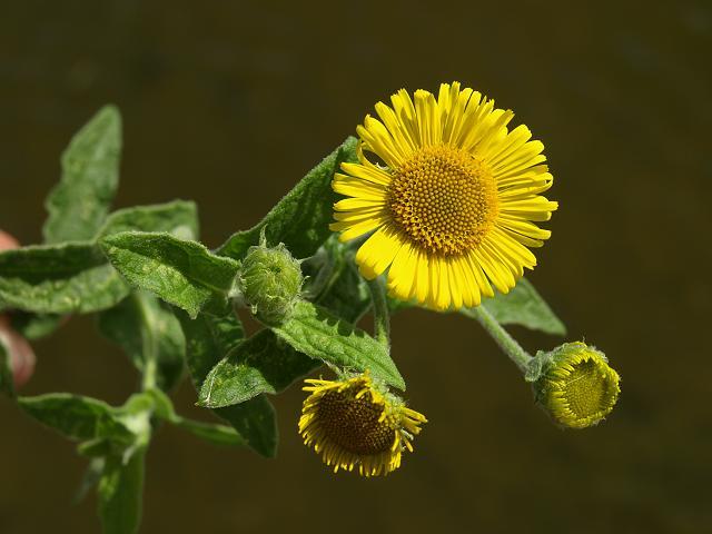 pulicaria_dysenterica_common_fleabane_flower_23-08-10_1