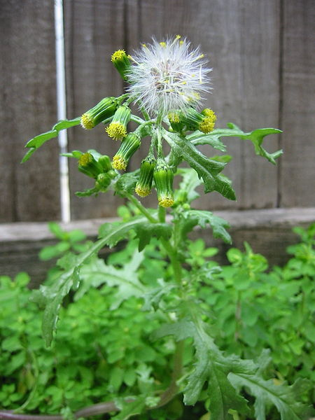 450px-Common_Groundsel-first_fruits