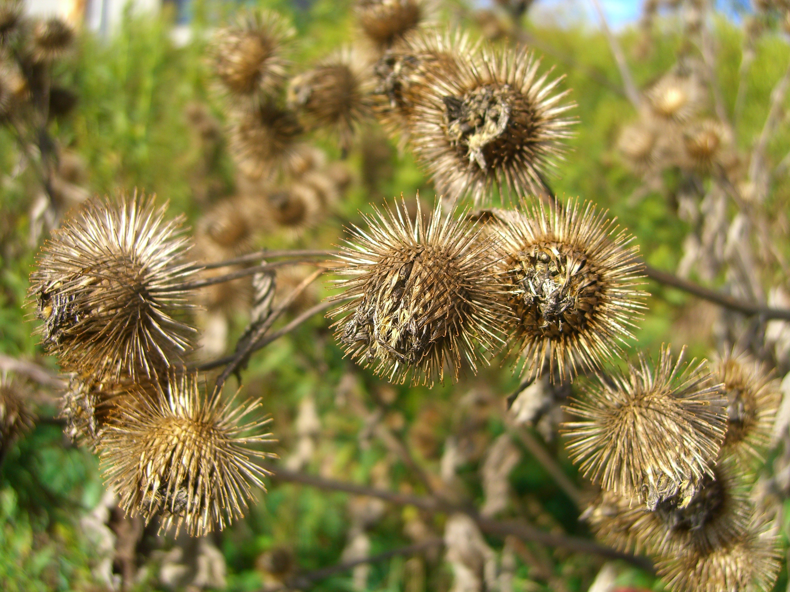 Canal Flora: Burdock – The Museum of Thin Objects