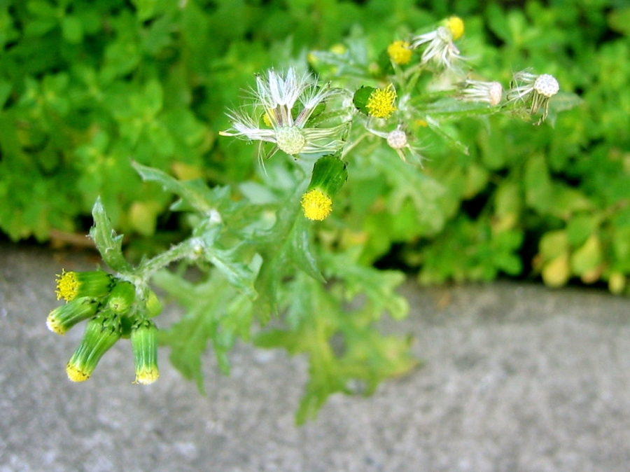 Common_Groundsel-achenes-pericarp-flowers