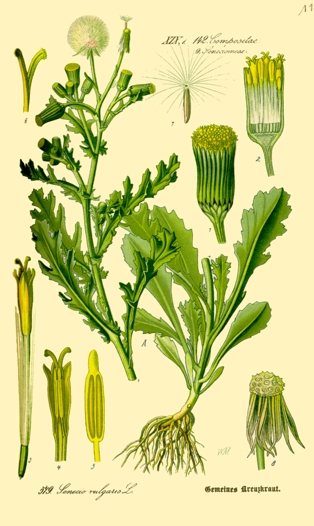 Illustration_Senecio_vulgaris0