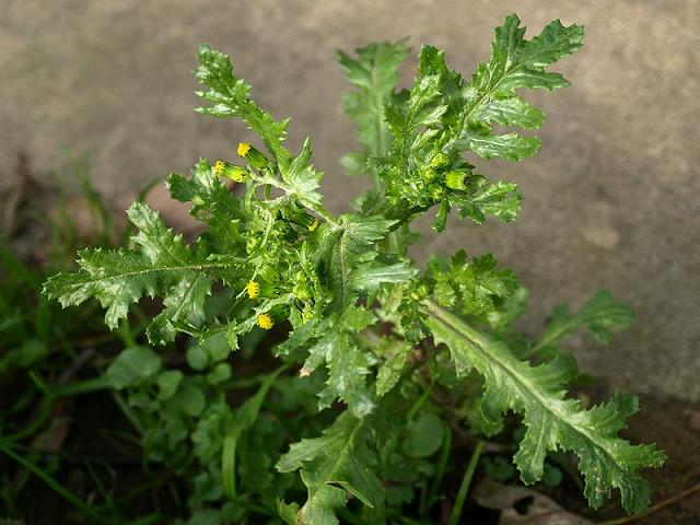 senecio_vulgaris_groundsel_flowering_plant_19-09-08