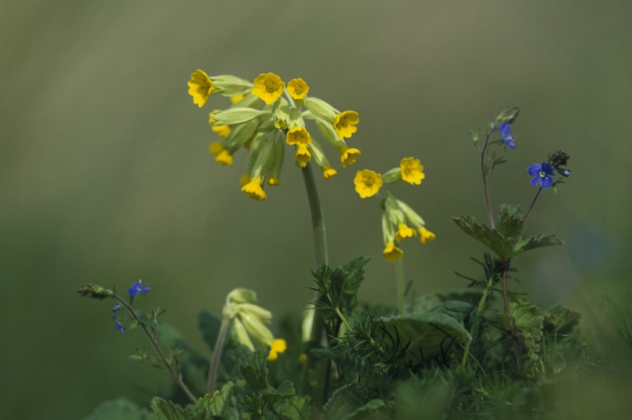 Cowslip-with-Speedwell