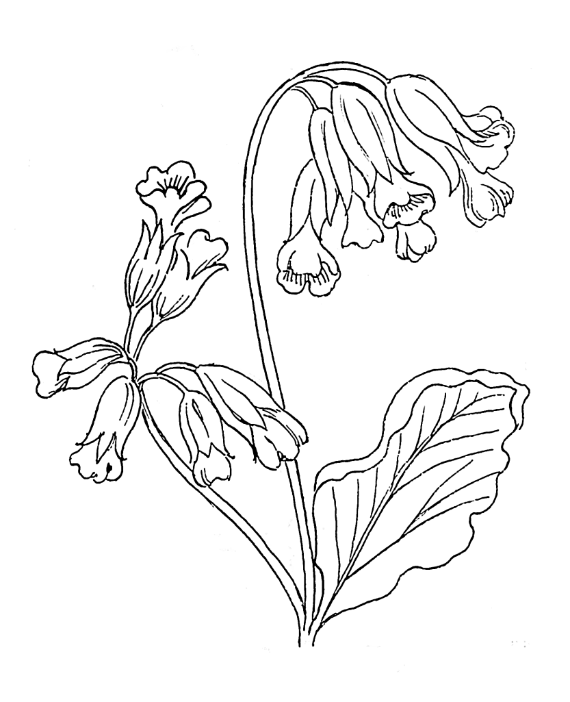 Cowslip_(PSF)