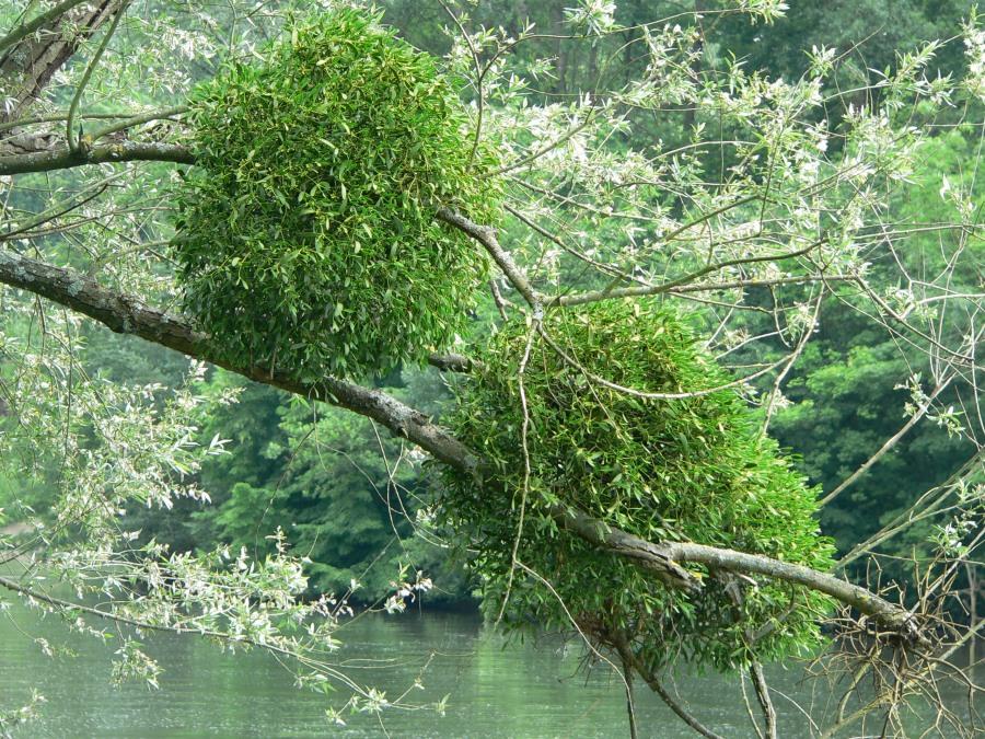 Mistletoe_P1210829
