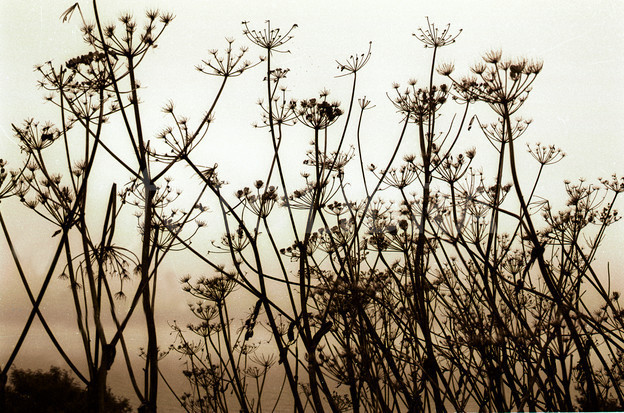 silhouetted dried seed heads of cow parsley