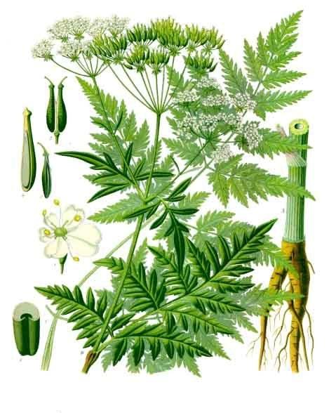 Anthriscus_sylvestris_-_Köhler–s_Medizinal-Pflanzen-162