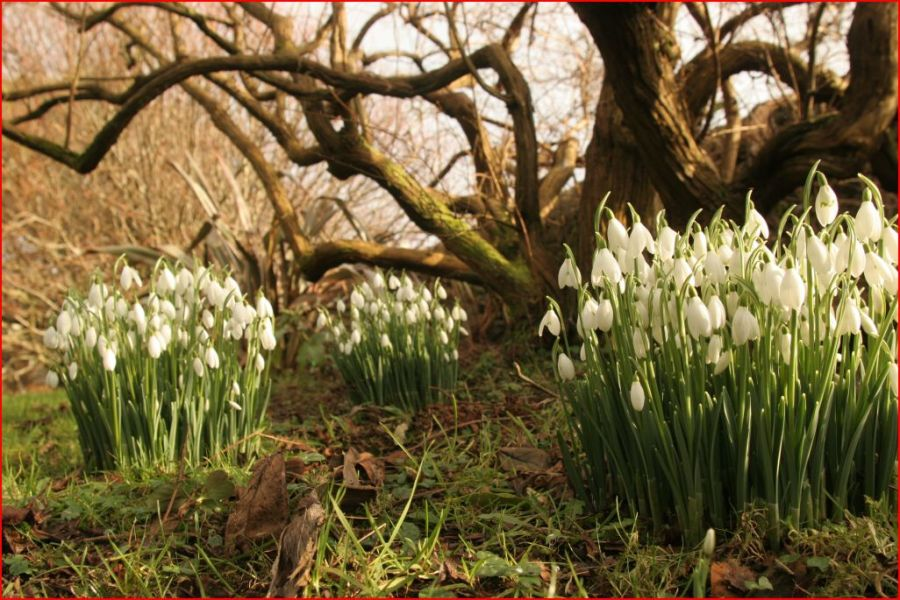 Capture Snowdrops