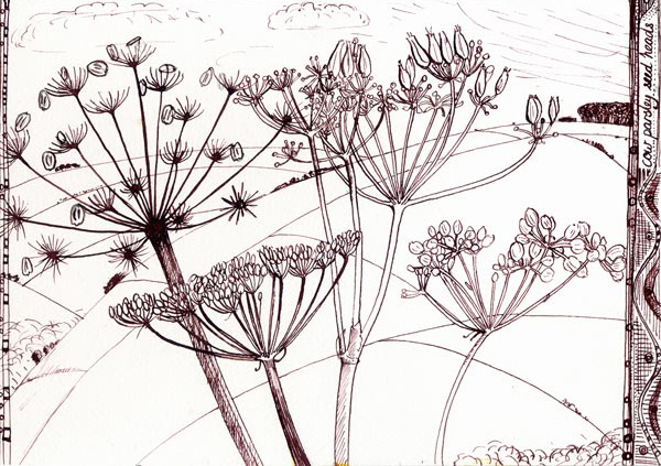 cow-parsley-seed-heads-ink