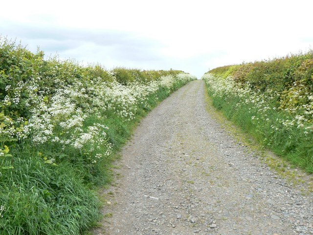 Cow_parsley_-_geograph.org_.uk_-_447979