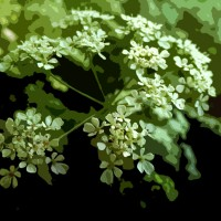 Canalside Flora: Cow Parsley