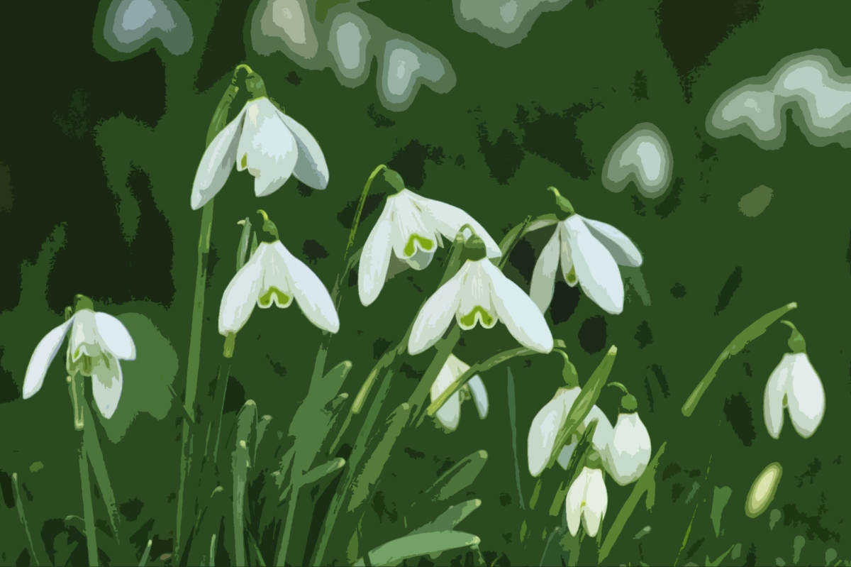 Canal Flora: Snowdrop