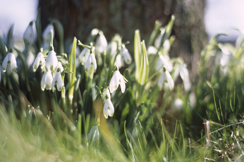 Galanthus nivalis var 'viridapicis', the common snowdrop, in the garden at Kingston Lacy, Dorset