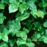 Canal Flora: Common Ivy