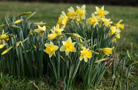 wild_daffodil1