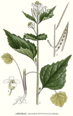 AlliariaOfficinalis